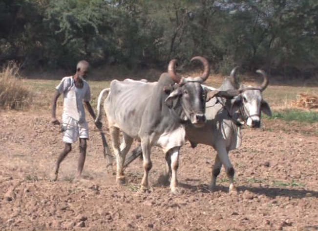 man tilling ground with oxen pulling